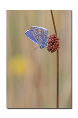 Common blue (Polyommatus icarus) (Huub SL) Tags: macro commonblue afs micronikkor f28g ifed ma nikkor105mmf28gvrmicro