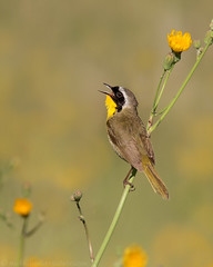 Common Yellowthroat (Nick Saunders) Tags: commonyellowthroat warbler common yellowthroat calling call singing song male field yellow flower flowers wildflower summer saskatchewan