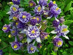 Blauer Blumengru! (ingrid eulenfan) Tags: blumen flowers blten blau blossoms akelei aquilegia