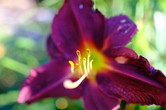 Pseudo Macro (DHaug) Tags: purple lily lilium flower flowering stamens macro sooc xpro2 fujifilm xf16mmf14rwr