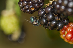 You are NOT a fruit fly!...HBBBT! (The Mad Macrographer) Tags: bluebottle fly diptera dof bokeh blackberries garden outdoors closeup insect hbbbt beautifulbugbuttthursday peterborough uk nikkvalentine canon7d canonef100mmf28lmacroisusm