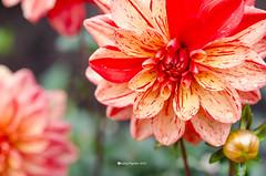 Dahlia Passolini 4602 (kathypaynter.com) Tags: dahlia dahlias macrodahlia macrodahlias warwickdahlia warwickdahliaonsurgenor warwickdahlias flowers flower macro macrophotography warwick passolini pasolini passolinidahlia