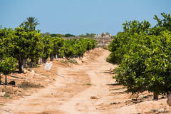 Lemon field. (Azariel01) Tags: 2016 espagne espaa spain alicante torrevieja lemon citron trees arbres field champ route road
