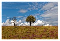 VELUWEZOOM - Heide (Babaou) Tags: niederlande nederland gelderland nationaalpark veluwezoom posbank heide heather heidebluete dxo
