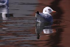 reflection, reflectie_001 (cees van gastel) Tags: ceesvangastel canoneos550d birds vogels meeuwen gulls water refectie reflection nature natuur waterdonkenbreda homemadetelef11