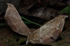 Leaf-mimicking moths (pbertner) Tags: mimicry moth mindo ecuador