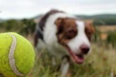 34/52 Focus (meg price) Tags: 52weeksfordogs flynn bordercollie dog ball game tennisball focus sheepdog