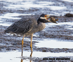 Yellow Crowned Night Heron Canon 5DSR 600mm f/4.0 see full size (Mike Black photography) Tags: bird birding nature nj new jersey shore canon 5ds 600mm is usm l lens ocean mike black summer 2016 august