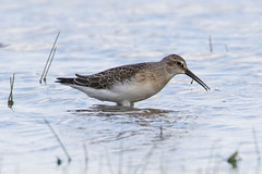 Curlew Sandpiper Feeding (queeny63) Tags: elements