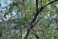 Encuentra al animalito (berenicematap) Tags: lagarto iguana ctenosaura herpetofauna palenque chiapas mxico reptil biodiversidad biodiversity