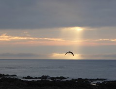 Sunbeam Seagull (chdphd) Tags: gull seagull sunrise