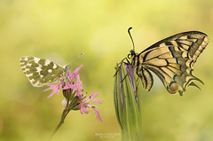 Peaceful Morning (Marco Saccardi) Tags: macro micro butterfly papilio machaon macaone insetto farfalla insect bug flower flowers nikon sigma 105 italy italia tuscany toscana beautiful summer spring primavera