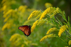 Monarch on Goldenrod (Kreative Capture) Tags: monarchs butterfly insect bugs plants flowers wildflowers goldenrod yellow texas migration nikon nikkor d7100