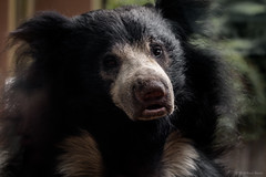 Sloth Bear (jetcitygrom) Tags: wild life animals woodland park zoo seattle mammals sloth bear ursa canon 6d