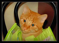 =^.^= unser kleines Helferlein =^.^= (karin_b1966) Tags: katze cat tier animal stubentiger roomtiger haustier domesticanimal tasche bag 2016 garfield yourbestoftoday