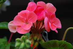 Geraniums in our hanging baskets on our awning (4) (John Carson Essex) Tags: thegalaxy thegalaxystars rainbowofnature supersix