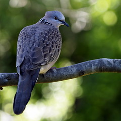 Dove Grey (RJAB2012) Tags: bokeh dove grey gray spotted pigeon 100v10f