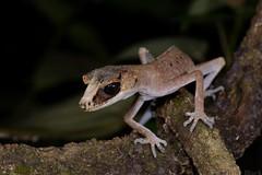 Chameleon Gecko (Carphodactylus laevis) (shaneblackfnq) Tags: chameleon gecko carphodactylus laevis shaneblack lizard reptile rainforest mossman fnq far north queensland australia tropics tropical
