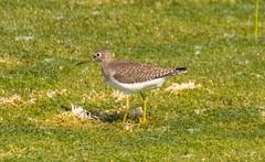 7K8A8902 (rpealit) Tags: scenery wildife nature east hatchery hackettstown alumni field solitary sandpiper bird