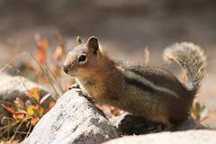 Cascade Golden-mantled Ground Squirrel (Zach Hawn) Tags: mountain wildlife wilderness wild outdoors pnw pacificnorthwest washington nationalpark mrnp mora hiking mountrainier mtrainier rainier hike alpine nature