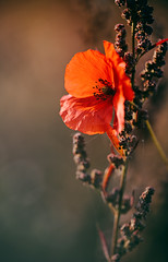 Mit atmosphrisch passender Musik lsst sich brigens leichter was zu fotografieren finden.  Heute: last day of summer (Manuela Salzinger) Tags: wiese meadow herbst autumn abend evening blume flower mohn poppy