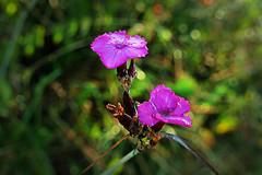 Lichtnelke im Morgentau (waidlerwiki) Tags: lichtnelke morgentau blume flower bayerwald bayerischerwald bavarianforest bavaria germany landkreisfreyunggrafenau sptsommer
