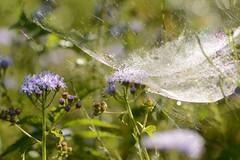 Spiderwebs, morning dew (Sarah Hina) Tags: spiderweb morningdew flowers cobwebs dawn
