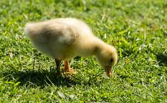 Gosling (Kiwi-Steve) Tags: nz newzealand gosling goose bird nature nikon nikond7200 baby