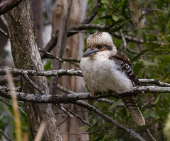 Kookaburra (shashin62) Tags: australia victoria nature kookaburra fauna mtmacedon kingfisher