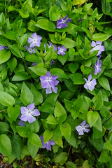 Vinca plant (Murfomurf) Tags: garden vinca blue oldfashioned cottage