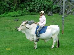 Montero (Jess Curbelo Garca) Tags: cuban peasant man domesticated ox pine river transport buey campo montura campesino