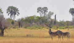 A Quiet Moment, Okavango Delta, Botswana (Poulomee Basu) Tags: zebra couple wild wildlife wildlifephotographer wildlifephotography botswana okavango deltalife nikon nikonlovers nature naturelovers savannah safari africa adventure wildplaces