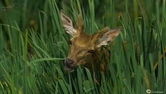 ciervo (I. Alberdi Ezpeleta) Tags: oreina crvol cervo cervidae cervuselaphus cervus venado ciervo ciervorojo ciervoeuropeo deer cerf hirsch