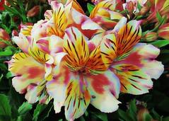 Alstroemeria (JulieK (finally moved to Wexford)) Tags: hss sliderssunday alstroemeria canonixus170 gardencentre colour bloom topazglow