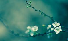 Spring Rhapsody... (setoboonhong) Tags: nature outdoor flowers blossoms bush depth field bokeh buds twig bendigo botanical gardens processing iphoto piano piece yiruma korean pianist spring time