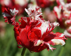 Reminder of Spring (radleyfreak) Tags: tulip red white spring bulb fringed parrothybrid hybrid colour garden border flamboyant feathered colourful petals texture tulipa parrottulip bulbous perennial bulbousperennial hardy