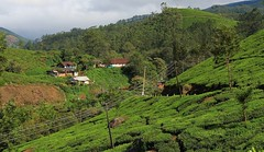 Munnar 061215 (9) (Richard Collier - Wildlife and Travel Photography) Tags: india kerala munnar landscape teaplantation