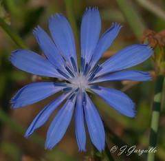 Florecilla del campo (J.Gargallo) Tags: flores flor flowers flower naturaleza nature garden blue azul mosqueruela aragn teruel espaa spain canon canon450d eos eos450d 450d tokina tokina100mmf28atxprod