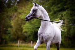 The Pride of the straight Egyptian Stallion (www.ziggywellens.com) Tags: arabian stallion sire egyptian qatar belgium leased breeding show horse horses equine outdoor movement animal pride elegance