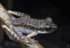 Banjaran Frog (Abhishek T) Tags: banjaran frog frogs nature wildlife macro animals amphibians