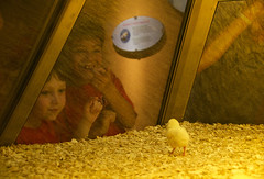 Excitement at the Hatchery in the  Museum of Science+Industry Chicago (Rebecca Regueira) Tags: yellow happy excited young child boy little chick hatchery chicago point life