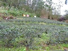 Taipei (Maokong St. - Camphor Trail), Taiwan (Jan-2016) 26-001 (MistyTree Adventures) Tags: taiwan taipei panasoniclumix asia outdoor teaplantation cameliasinensis greentea plant field camphortrail