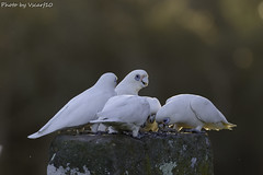 Feeding Little Corellas (vscarf10) Tags: canon eos dslr 7dmkii markii zoom 100400mm birds nature creatures feathers feeding food eyes beaks perched white seeds tail bokeh blurred ledge