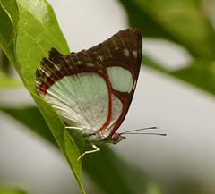 No identificada. (Helio Lourencini) Tags: butterfly animal aoarlivre macro inseto borboleta coresvivas worldbest explore flor planta paudalho pernambuco wild wildlife selvagem forest floresta mataatlantica