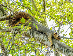 Taking a break--DSC09963--Pacific Grove, CA (Lance & Cromwell back from a Road Trip) Tags: squirrel wildlife pacificgrove montereypeninsula montereycounty california sony sonyalpha a7s 2870mm lens