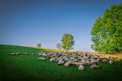 Country Life (matthiasstiefel) Tags: sheep country schafe land autumn herbst