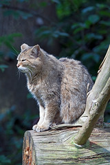 Schloss Tambach - Wildpark - Europische Wildkatze (astroaxel) Tags: oberfranken bayern schloss tambach wildpark europische wildkatze katze deutschland