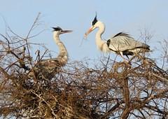 couple de héron cendre au parc ornithologique du pont de Gau - Grey Heron (frimoussec) Tags: couple héron cendré parc ornithologique pont de gau heron cendre au du grey