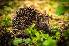 hedgehog Amsterdamse bos (B. Versteeg) Tags: egel bos forest amsterdam dier stekels nature