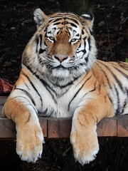 Vlad (Sharon B Mott) Tags: amurtiger tiger bigcat preditor carnivour yorkshirewildlifepark october beauty awesome